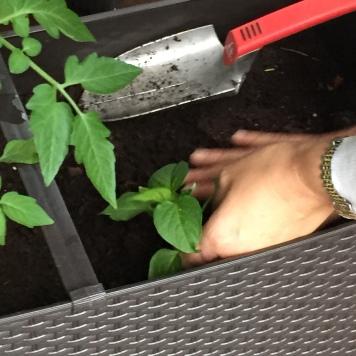 plantación de guindilla